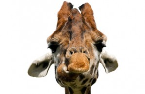 giraffe sjg