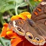 butterfly naturenet